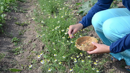 Woman in blue pick chamomile herbal flower blooms to wicker dish