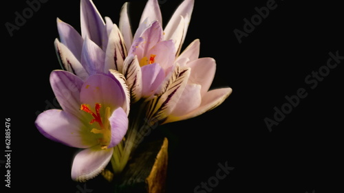snowdrops blossom. crocus. Studio photography of budding flowers