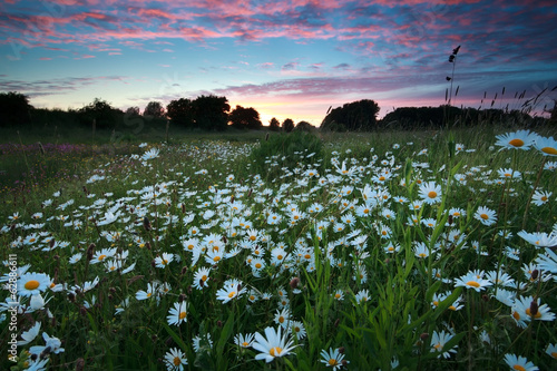 beautiful sunset over chamomile field