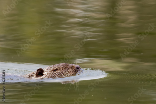 Isolated Beaver coypu while swimming