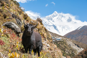Yak standing in himalayas, with Lhotse and Everest in background