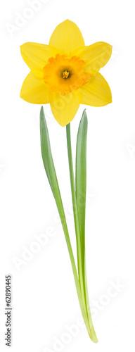 Canvas Narcis Yellow daffodil