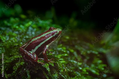 Grenouille epidobate tricolore