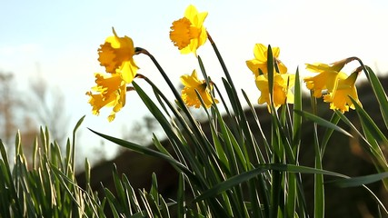 Daffodiles in the sun