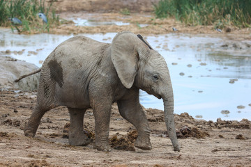 Baby African Elephant at Water Hole