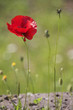 Poppy on green grass