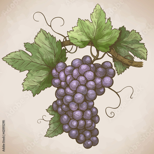 Plakat engraving grapes on the branch in retro style