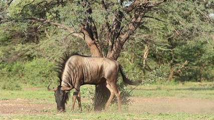 Blue wildebeest displaying territorial behavior
