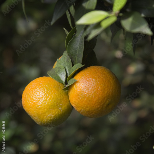 Mandarins  on a branch