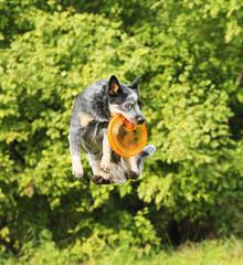 frisbee australian cattle dog