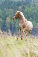 appaloosa horse running