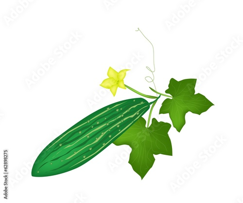 Fresh Green Marrow Plant on White Background