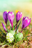 easter eggs  and crocuses outdoor