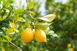 Fototapety Lemons in orchard