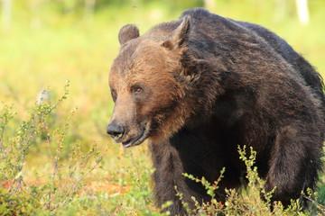 orso bruno foresta della finlandia