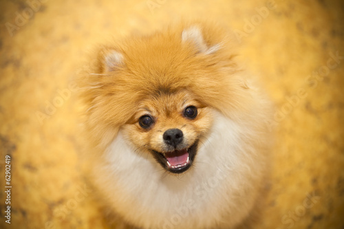 Dog smiling. Happy pet - dog Spitz. Small breeds.