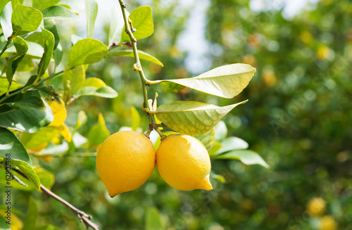 Lemons in orchard