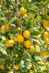 Branches of ripe lemons with buds.
