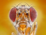 Fototapeta Extreme sharp macro portrait of fruit fly head