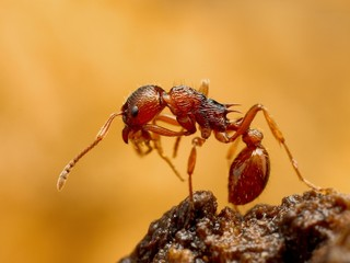 Myrmica ant cleaning itself closeup