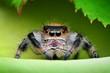 Jumping spider (Phidippus regius) in its natural environment