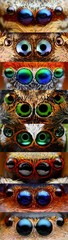 Collage with closeups of jumping spider eyes