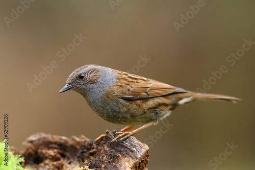 Dunnock bird on the branch