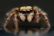 Jumping spider closeup