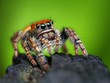 Phidippus whitmani jumping spider closeup