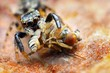 Closeup of small jumping spider eating fly - 62909439
