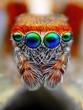 Leinwanddruck Bild - Mediterranean jumping spider close up