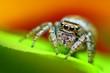 Evarcha falcata female jumping spider close up