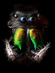 Phidippus audax jumping spider head closeup