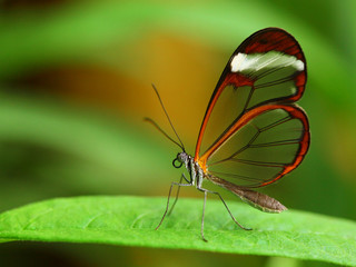 Glass wing butterfly (Greta Oto)