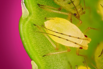 Extreme sharp and detailed view of Green aphids