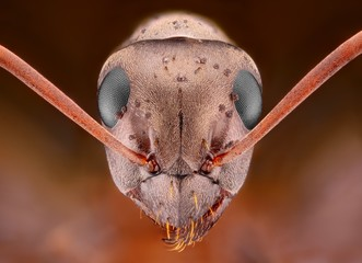 Sharp and detailed study of Ant head with pimples