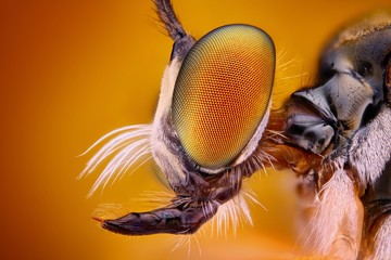 Extreme sharp and detailed view of Robber fly head