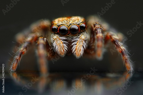Jumping spider closeup
