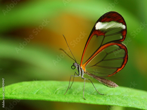 Glass wing butterfly (Greta Oto) - 62909447