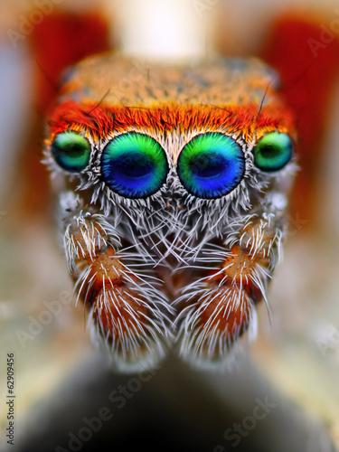 Leinwanddruck Bild Mediterranean jumping spider close up