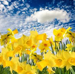 Duft- und Blütenrausch: Leuchten-gelbe Narzissen :)
