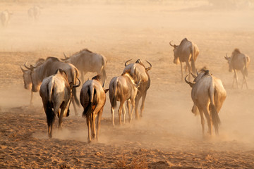 Blue wildebeest in dust, Amboseli National Park
