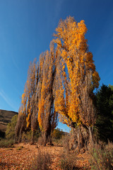 Autumn (fall) landscape with colorful poplar trees