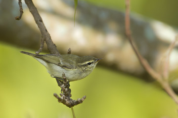 Greenish warbler bird in Nepal