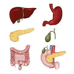 digestive organs, isolated on whithe background