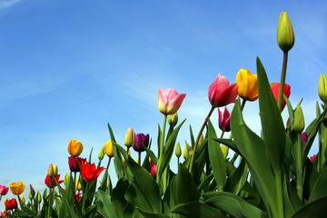 Tulpen vor blauem Himmel