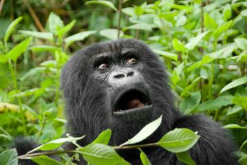 Mountain Gorilla in Volcano National Park (Rwanda)