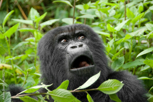 Canvas Overige Mountain Gorilla in Volcano National Park (Rwanda)