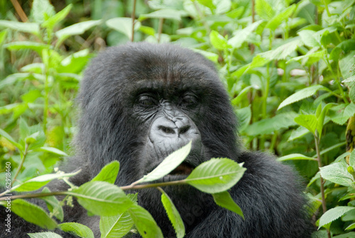 Mountain Gorilla in Volcano National Park (Rwanda)