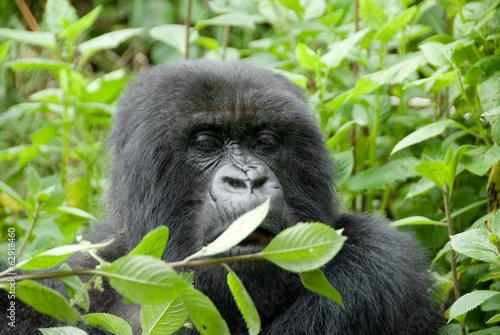 Poster Mountain Gorilla in Volcano National Park (Rwanda)